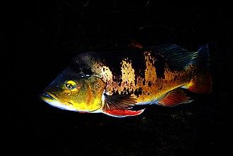 Peacock bass - An adult butterfly peacock bass