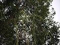 Cissus quadrangularis (9859602333).jpg