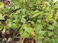 Cissus rhombifolia-1-sunny broke-yercaud-salem-India.jpg