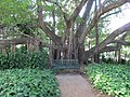 City Botanical banyan 2.jpg