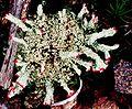 Cladonia cristatella f. (13).jpg