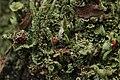 Cladonia sp. (38314184936).jpg