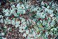 Cladonia subtenuis-4.jpg