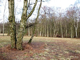 Ashridge Commons and Woods - Image: Clearing with Silver Birch on Pitstone Common geograph.org.uk 1185115