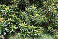 Clethra arborea - Trebah Garden - Cornwall, England - DSC01679.jpg