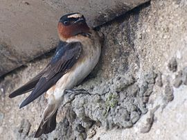Cliff Swallow Builder.jpg