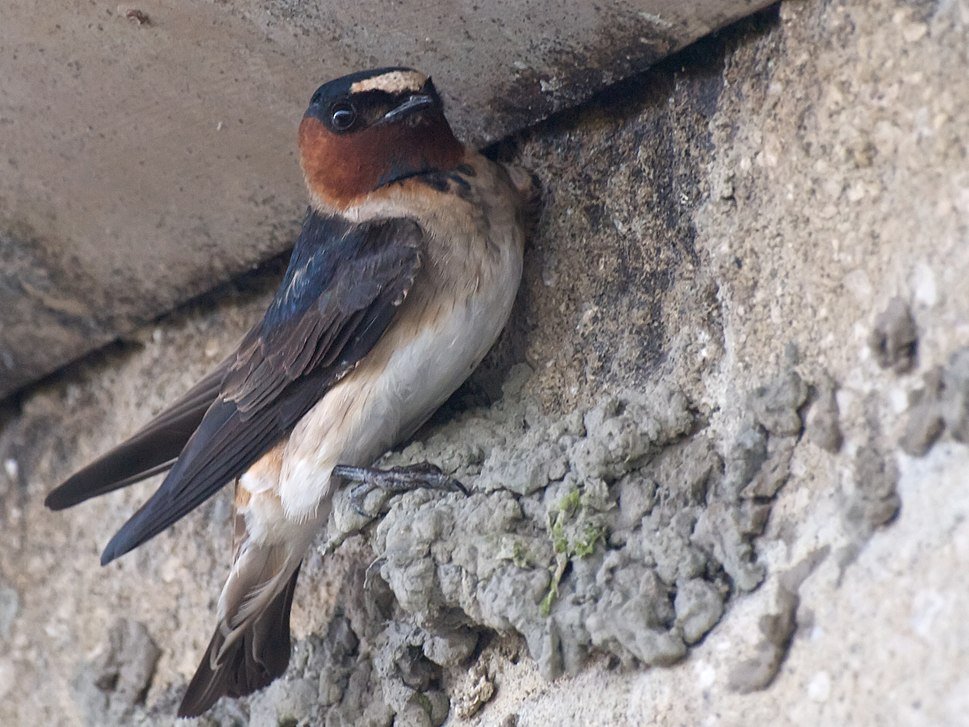 Cliff Swallow Builder