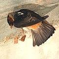 Cliff Swallow Starting a nest (4736409051).jpg