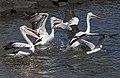 Clontarf Pelicans take-off-01 (7818039792).jpg