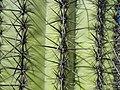 Close-up of saguaro cactus (13e31108-f83d-4597-a77c-eb417ed7df78).jpg