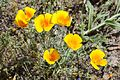 Close up image of the Mexican golden poppy.jpg