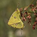 Clouded yellows (Colias croceus) mating Bulgaria.jpg