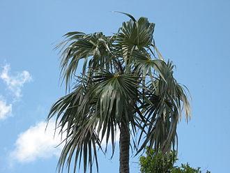 Coccothrinax argentata - Coccothrinax argentata, Bahia Honda Key, Monroe County, Florida
