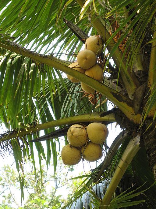 Cocos nucifera of kokospalm jungle tuin for Pianta di cocco
