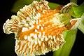 Coelogyne zurowetzii Carr, Orchid Rev. 42 44 (1934) (49068521398).jpg