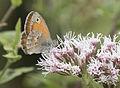 Coenonympha pamphilus - Small heath 08.jpg