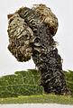 Coleophora anatipennella case, Church Bay, North Wales, Aug 2015 (20579622042).jpg