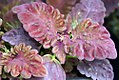 Coleus Black Dragon 0zz.jpg