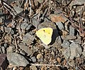 Colias-crocea-20130811-1.jpg