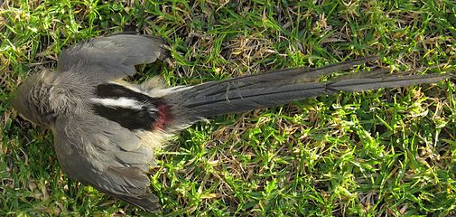 Colius colius White-backed mousebird Dorsal plumage 8425s.jpg