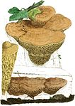 Coloured Figures of English Fungi or Mushrooms - t. 181 crop.jpg