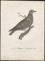 Columba phaeonotus - 1796-1808 - Print - Iconographia Zoologica - Special Collections University of Amsterdam - UBA01 IZ15600203.tif