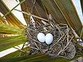 Columbina talpacoti nest with eggs.jpg