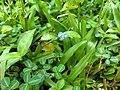 Commelina clavata- Willow Leaved Dayflower.jpg