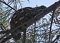 Common Chameleon (Chamaeleo chamaeleon) (6161258505).jpg