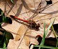 Common Darter. Sympetrum striolatum. Male - Flickr - gailhampshire.jpg