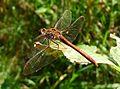 Common Darter. Sympetrum striolatum - Flickr - gailhampshire (2).jpg