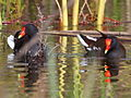Common Gallinule California 2.jpg