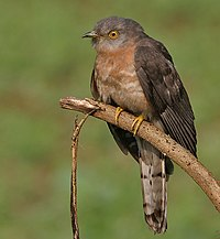 Common Hawk Cuckoo (Hierococcyx varius) at Narendrapur W IMG 4111