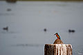 Common Kingfisher - I.jpg