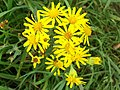 Common Ragwort (3907932956).jpg