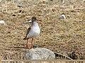 Common Redshank (Tringa totanus) (34560646112).jpg