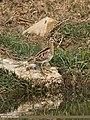 Common Snipe (Gallinago gallinago) (43132235292).jpg