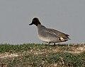 Common Teal (Anas crecca) near Hodal, Haryana W IMG 6451.jpg