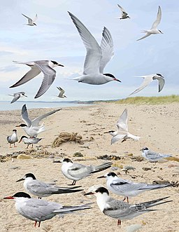 Common Tern from the Crossley ID Guide Britain and Ireland