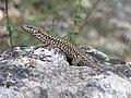 Common Wall Lizard (Podarcis muralis) (8333269164).jpg