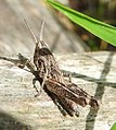 Common field grasshopper (28455193725).jpg