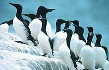 Common murres.jpg