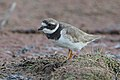 Common ringed plover, Charadrius hiaticula, at Marievale Nature Reserve, Gauteng, South Africa (44878737364).jpg