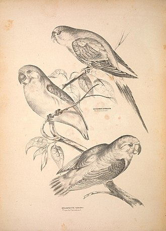 Coxen's fig parrot - Image: Companion to Gould's Handbook; or, Synopsis of the birds of Australia (Plate 54) (6797541498)