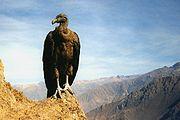 A juvenile condor posing over Colca Canyon, Peru
