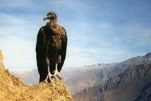 Un giovane condor nel Colca Canyon, in Perù