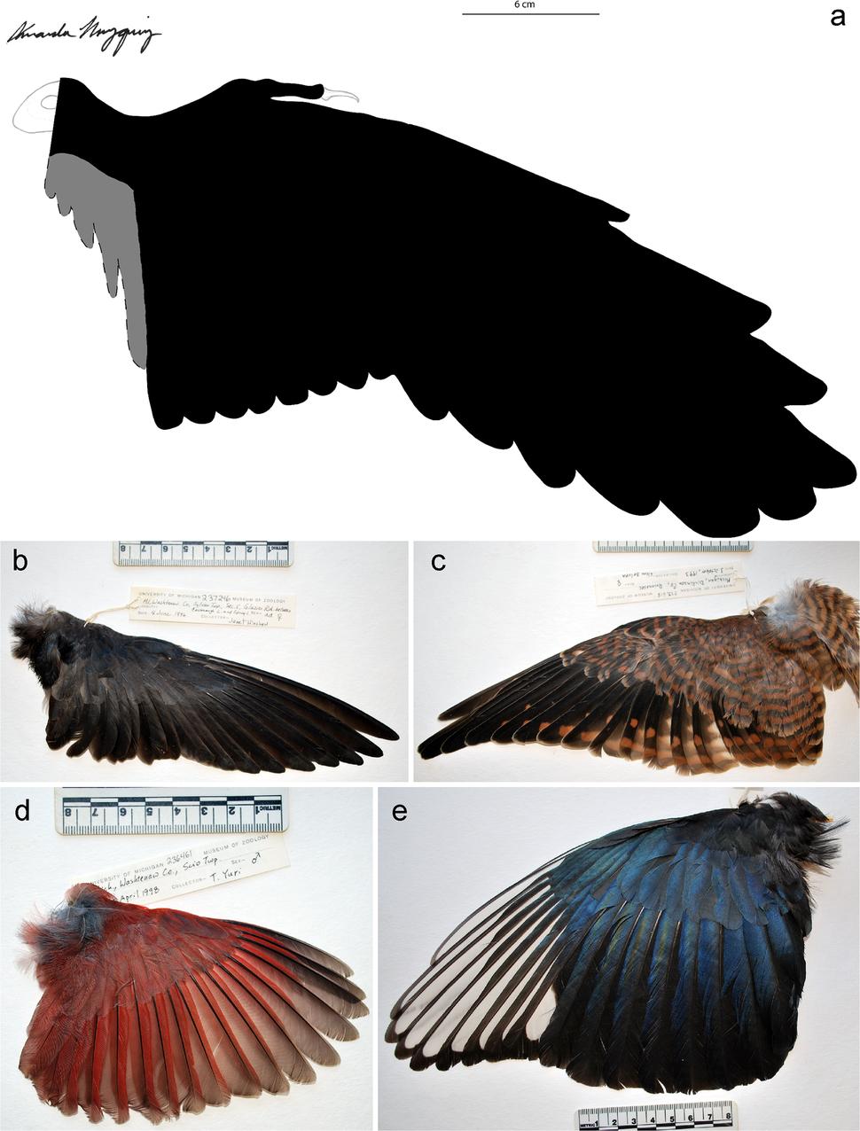 Confuciusornis wing