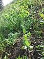 Conringia orientalis sl14.jpg
