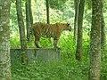 Conscious Tiger.jpg