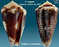 Conus exiguus 5.jpg